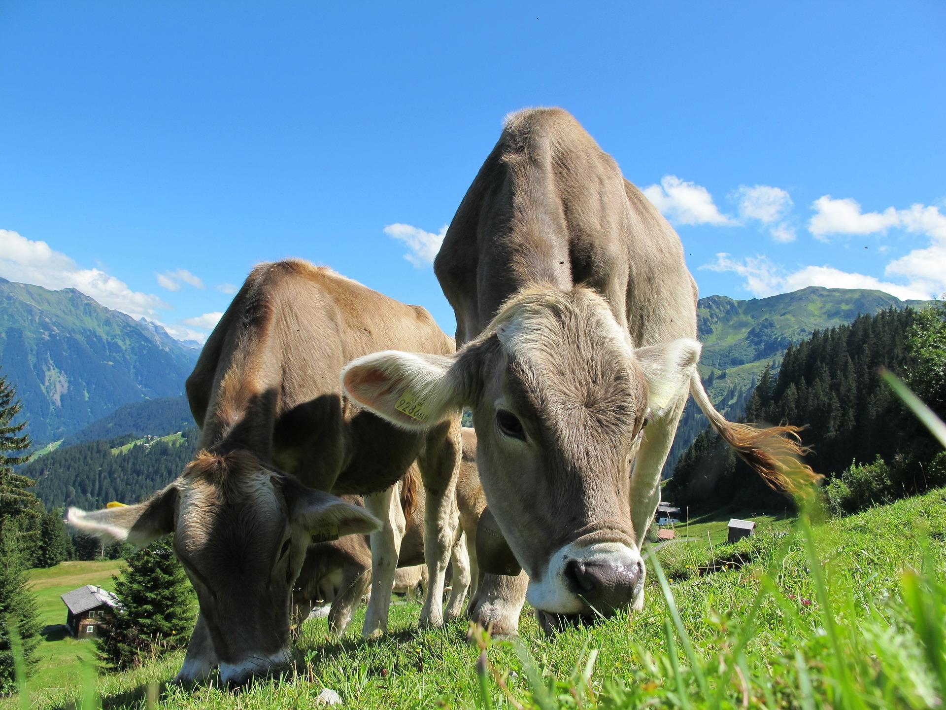 пастбища в Австрии, где выращивают продукты в Австрии