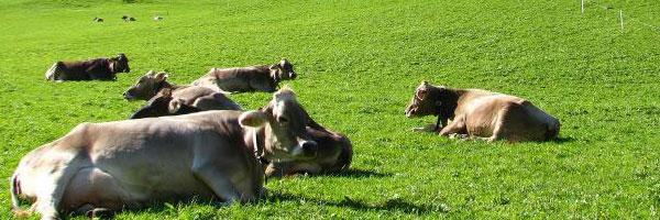 коровы и молочные продукты